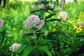 Sweet Joe-pye Weed (eutrochium Purpureum), Also Called Kidney-root, Sweetscented Joe Pye Weed, Grave poster