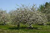 foto of apple blossom  - Apple trees flowering in the spring orchard - JPG