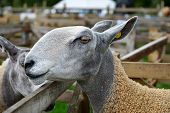 Portrait Of A Bluefaced Leicester Sheep At An Agricultural Show