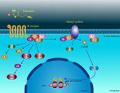 Histamine molecular pathways