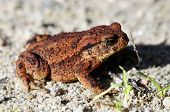Common toad - Bufo