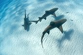 stock photo of sucker-fish  - Sharks swimming along the sea bed Bahamas - JPG