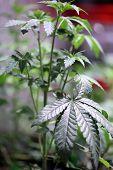 Marijuana Seedlings growing indoors in a Marijuana Grow Tent. poster