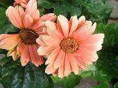 peach gebera daisy