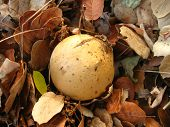 oak gall on a bed of oak leaves