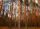 Morning Sunrise In Pine Forest Thicket On Sky Background. Perspective View Of Tall Old Trees Growth  poster
