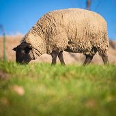 foto of suffolk sheep  - Suffolk black - JPG