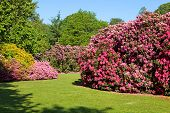 Rhododendron and Azalea Bushes in Beautiful Summer Garden