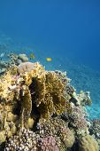 Colorful Coral Reef At The Bottom Of Tropical Sea, Yellow Fire Coral, Underwater Landscape poster