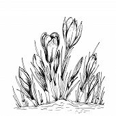 Sketchy Spring Crocus Flowers. Hand Drawn Vector Illustration Isolated On White. poster