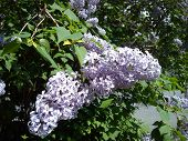 Lilac, Fluffy, Recently Blossomed Flowers On A Lilac Bush. Urban Flora To Decorate Streets, Squares, poster