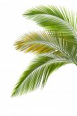 Leaves of palm tree isolated on the white background