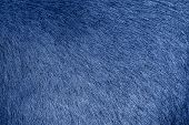 Blue Animal Fur Background. Blue Fur Texture Close Up. Cowhide Close Up. Real Genuine Natural Fur, F poster