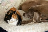 Old calico cat and an old Weimaraner dog sharing a dog bed, sleeping side by side poster