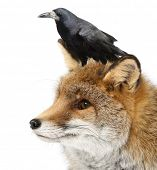 Old Red fox, Vulpes vulpes, 15 years old, and Rook, Corvus frugilegus, 3 years old, against white ba
