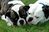 Two Bulldogs At Barmouth 01