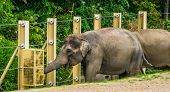 Closeup Of A Asian Elephant Eating Hay From A Feeding Basket, Zoo Animal Diet, Endangered Animal Spe poster
