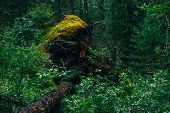 Big Fallen Tree Root Covered With Thick Moss In Taiga Wilderness Among Fresh Greenery. Atmospheric L poster
