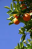 stock photo of orange-tree  - Oranges hanging from an orange tree in front of a blue sky - JPG