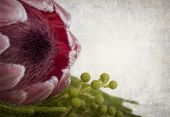 Protea flower close-up. Vintage style background with space for your text,