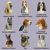 Set Of Dog Breeds Portraits:german Shepherd,beagle, German Pinscher, Afghan Hound, Isolated On Purpl poster