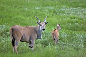 stock photo of eland  - eland mother and baby - JPG