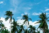 Coconut Palm Tree With Blue Sky And Clouds. Palm Plantation. Coconut Farm. Wind Slow Blowing Green L poster