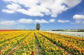 Los magníficos jardín ranúnculos. Campo ilimitado kibbutz sembrado con flores.