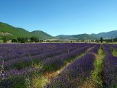 Lavendin Fields For Essential Oils