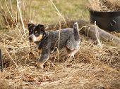 picture of heeler  - an australian blue heeler puppy explores his yard - JPG