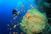 Scuba Diving on coral reef with Anthias Fish