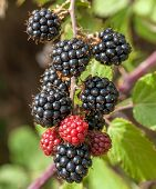 Blackberry bunch on the bush