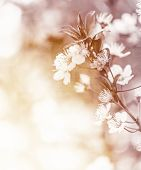 White cherry flowers on sunny day, floral branch of blooming tree in the garden, springtime nature,