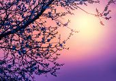Cherry tree flower blossom over purple sunset, abstract natural background, pink sunrise over branch