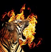 Portrait of a beautiful tiger with flames over black background