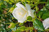 eine weiß blühende rose in einem Garten auf einem großen Strauch