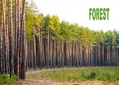 Scots Pine (Pinus sylvestris) forest with white background. Renewable energy concept. Picture with p