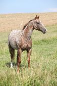 stock photo of appaloosa  - Portrait of nice appaloosa mare standing on pasturage in summer - JPG