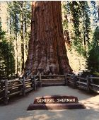 image of sequoia-trees  - Sequoia National Park in California contains some of the largest and oldest living organisms - JPG