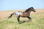 foto of appaloosa  - Perfect appaloosa stallion running on beautiful pasturage in summer - JPG