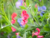 Sweet pea (Lathyrus odoratus) blooming in the garden. Very shallow DOF