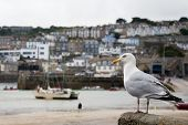 image of st ives  - Seagull in a harbour in a town of St - JPG