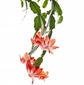 picture of schlumbergera  - Blooming Christmas Cactus Schlumbergera isolated on white background - JPG
