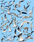 foto of mew  - the marine gulls on a blue background