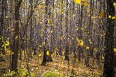 Falling leaves in birch forest in the sun