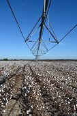 Pivot Over Cotton Ready To Be Picked