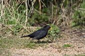 Male Blackbird