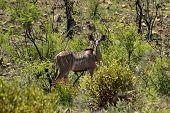 Female kudu antilope