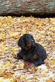 Black and brown Gordon Setter dog in garden