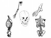Human Skeleton Drawing Illustration